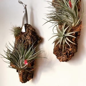 Hanging Tillies on Cork $44 - Staghorn