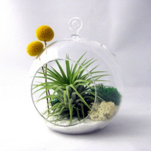 Tillandsia Billy Buttons Terrarium via WeeBirdy.com